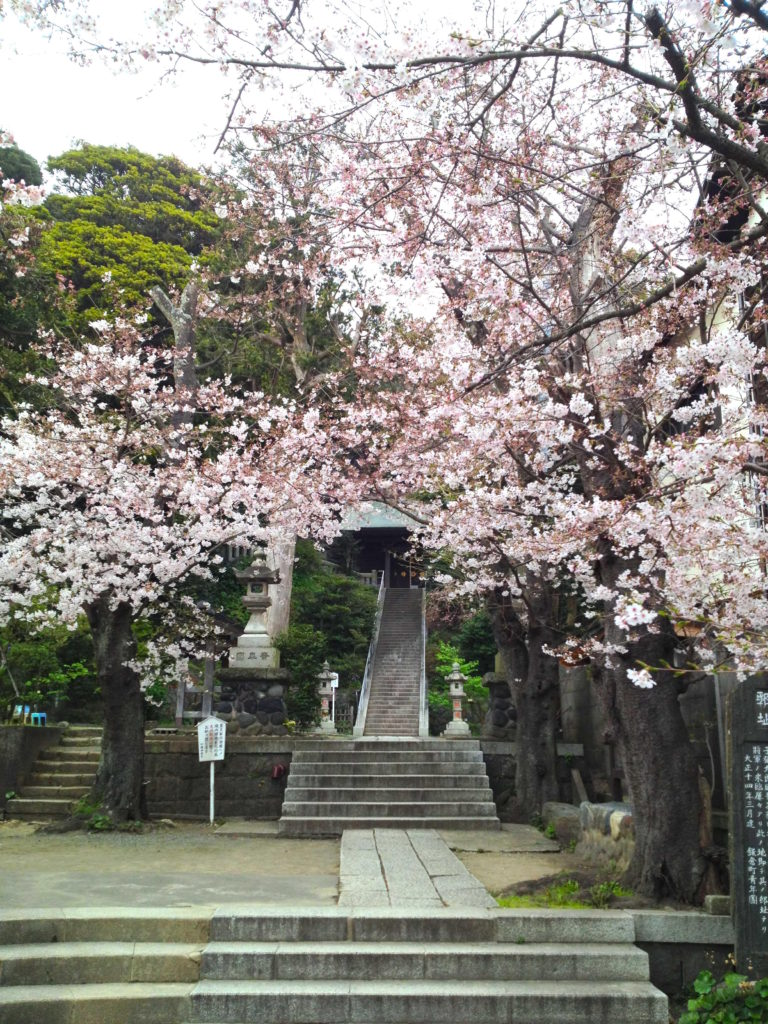 Spring Cherry Blossoms and an old shrine
